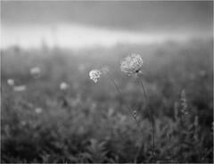 About fog / O mgle (Piotr Skiba) Tags: fog meadow flower drop evening forest bw monochrome kodaktmax400 6x45 poland pl piotrskiba siemianowice śląskie bażantarnia
