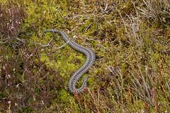 Adder Male. (farrertracy) Tags: adder viperaberus spring blackandwhite moss green heathland