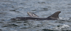 BND-3456 (David Jefferson Photo) Tags: bottle nose dolphin dolphins whales cetaceans whale scotland highland highlands inverness fortrose rosemarkie chanonry point watching wildlife breach breaching salmon fin dorsal fluke flukes tursiops truncatus delfin