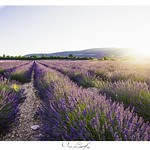 Lavender field in Provence thumbnail