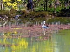 The Billabong, Pelican and the Wattle! (maginoz1) Tags: billabong blackswan lilypads pelican tahbilk winery victoria australia winter august 2018 impressionistic art manipulation canon g16