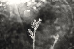 Sunlight and flares (Stefano Rugolo) Tags: stefanorugolo pentax k5 pentaxk5 kepcorautowideanglemc28mm128 bokeh lensflares flares backlight abstract monochrome vintageprime vintagelens vintageprimelens manualfocuslens manualfocus manual
