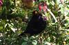 Blackbird (Lanius Excubitor) Tags: blackbird nikon bird tree leaf fuschia