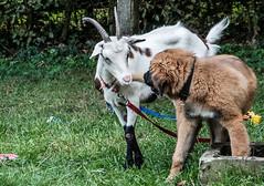 Three Goats against a Dog - Drei Ziegen gegen einen Hund 024_Web-compressed (berni.radke) Tags: three goats dog drei ziegen ziege gegen hund goat koza geit cabra capra cane perro cão hond chien kampf match spiel gevecht combat luta lucha struggle fight fighting game