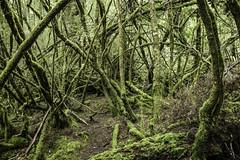 Undergrowth, Creepy Crawley Nature Trail,  Southwest National Park-4 (Tasmanian.Kris) Tags: tasmania southwestnationalpark hiking hike hikes bush bushwalk bushwalking
