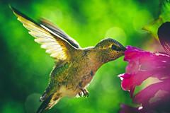 for a fractional sharp sweetness (1crzqbn) Tags: weigela light sunlight bird nature hummingbird sliderssunday dof bokeh