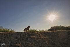 Oney DxOFP+DF LM+21 1006575 (mich53 - thank you for your comments and 5M view) Tags: contrejour sunlight dog vacances bassetfauvedebretagne portrait télémètre rangefinder entfernungsmesser superelmarm21mmf34asph leicamtype240 silhouette