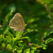 Ringlet Butterfly in the Green