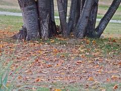 Trees and Fallen Leaves ... (Irene, W. Van. BC) Tags: treesandfallenleaves trees fallenleaves leaves grass brownleaves treetrunks nature wonderfulnature beautifulnature fall fallscenes outdoors outdoorscenes park parkscenes 1001nights 1001nightsmagiccity 1001nightsmagicgarden