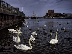 alexandra dock swans (Mallybee) Tags: f28 1235mm dcg9 g9 lumix panasonic swans rosstiger alexandradock grimsby dock trawler birds gulls m43 mallybee