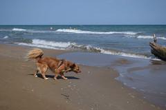 Laika a la Platja Trabucador (Hachimaki123) Tags: platjatrabucador deltadelebre animal dog perro laika