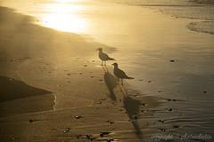 Seagulls, Emerald Isle (photoeclectia1) Tags: