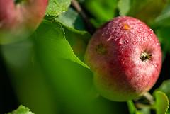 6M7A3363 (hallbæck) Tags: æble apple manzana pomme mela macá äpple apfel dråber drops droplets tropfen kattehale denmark