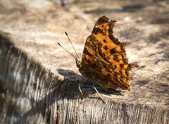 Comma, ready to fly (littlestschnauzer) Tags: comma butterfly winged patterned orange summer emley yorkshire macro detailed 2018 july garden