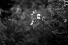 wild white (Rene_1985) Tags: leica m 9 p 50mm 20 summicron nature outdoor wideopen offenblende bokeh