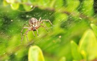 Ietsiepietsie spider