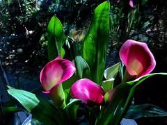 #Calla #Zantedeschia #HappyWeekendAll (RenateEurope) Tags: calla zantedeschia happyweekendall flora flowers pink awesomeblossoms quintaflower