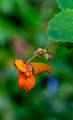 Spotted Jewelweed (clarke.cochran1) Tags: flower spottedjewelweed orange leaf forest bloom