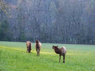 IMGPJ06212C_Fk - Great Smoky Mountain National Park - Elk