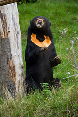 Sun Bear (Helarctos malayanus) (Seventh Heaven Photography) Tags: sun bear helarctos malayanus helarctosmalayanus malayan animal mammal male toni wood tree trunk chester zoo cheshire nikond3200
