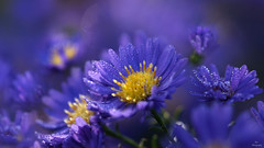 Wonderful World of Morning Dew.... (Piet photography) Tags: macro dew flowers wetflowers aster herfstasters tamron90mm