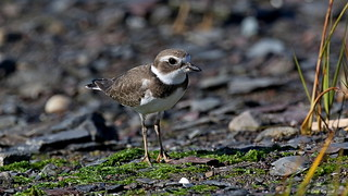 1.03558 Pluvier semipalmé (juvénile) / Charadrius semipalmatus / Semipalmated Plover