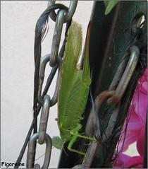 Ce matin je suis retournée , comme chaque jour voir la petite sauterelle qui s'est installée dans un de mes dahlias géants (Figareine- Michelle) Tags: ce matin elle était sur le piquet qui sert de tuteur à mes dahlias géants