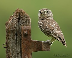 Little owl (Chiv3) Tags: