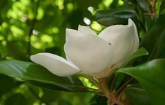 Magnolia grandiflora, jardins de l'Université d'Architecture de Venise, Santa Croce, Venise, Vénétie, Italie.