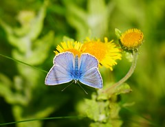Common Blue Butterfly (seenbynick) Tags: blue butterfly common insects wildlife sunshine summer flowers yellow plant leaves macro nature outdoors ainsdalebeach