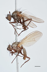 Aricia tenuiventris Zetterstedt, 1860 (Biological Museum, Lund University: Entomology) Tags: diptera zetterstedt anthomyiidae aricia tenuiventris delia mzlutype00366 taxonomy:binomial=ariciatenuiventris