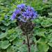 Alpen-Milchlattich - Cicerbita alpina - Asteraceae  - 20180629 - IMG_20180629