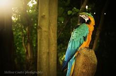 Resting pet parrot at Abbey Grove woods. (lisseysphotos) Tags: abbeygrove blueandgold macaw dark sunset woods pet parrot
