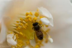 IMG_2289 (gruff.harding) Tags: flowers bees macro closeup canon tamron nature spring softfocus