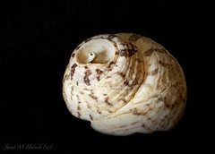 Shell (jmhutnik) Tags: seashell stilllife nikon