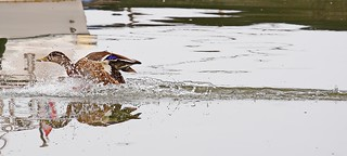 Duck/Patak