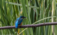 9Q6A2838 (2) (Alinbidford) Tags: alancurtis brandonmarsh kingfisher nature wildbirds wildlife
