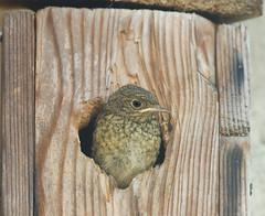 La cassetta nido costruita con i miei nipoti ha ottenuto l'obbiettivo che ci siamo dati (ric.artur) Tags: animali ali nikon naturalmente natura codirosso nido