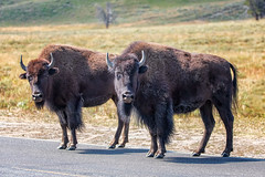 Come Hither! (KPortin) Tags: bison yellowstonenationalpark road