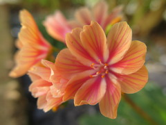 Lovely Lewi and friends ... 😊 (☜✿☞ Bo ☜✿☞) Tags: lewisia flower plant fleur flora fauna dof outdoor outside yard backyard flowers blur canong16 powershot macro bokeh closeup summer vacation day summer2018 august september floral natur home nature bright england britain uk europe european me depthoffield camera natural country 7dwf national smile fun naturephotography new plants morning view pretty style sunshine naturaleza colourful cielo auto ciel fall green pink yellow colour white colours contrast flickr leaf countryside sunny leaves nyc garden festival paysage texture family