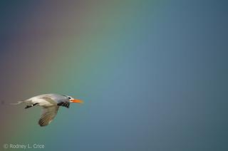 Royal Tern flies through rainbow at Holden Beach, NC, 9/8/18.