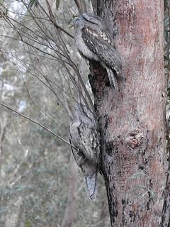tawny frogmouth no 2