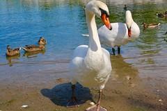Swans (i_kaya@rogers.com) Tags: swans ducks canada ontario toronto art photograph photography animals park