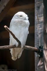 Schneeule (stegi_at) Tags: canon eos6d eule kameltheater kernhof raubvogel schneeeule tiere tiergarten vogel zoo