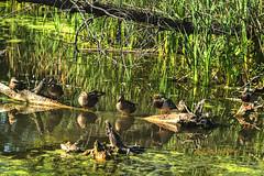 Mallard Family (elpeterso69) Tags: heronhaven mallard dsc7752 fauna wildlife nature wildbirds avian fowl waterfowl duck lake pond wetland aquatic omahane nebraska midwest iowa naturephotography anasplatyrhynchos