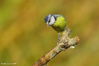 Chapim azul - Cyanistes caeruleus - Blue tit