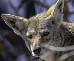 Coyote (shottwokill) Tags: bolsachica california nature wetlands marsh morning coyote d5 200500 nikkor wildlife animals animalportraits portraits