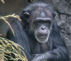 Your Close Relative (Scott 97006) Tags: chimp dna face emotion hairy chimpanzee cute animal zoo
