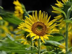 2018 Sunflower #4 (Yorkey&Rin) Tags: august em5markii flower japan kanagawa kawasaki macro olympus olympusm14150mmf4056ii p8140034 rin summer sunflower ヒマワリ 夏 川崎市 早野 八月 麻生区