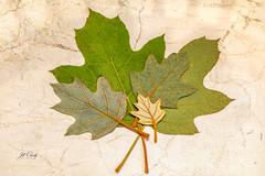 I Collect Things (Jill Clardy) Tags: closeup green leaf macro stilllife perfect veins marble tile 201808209l8a6648edit